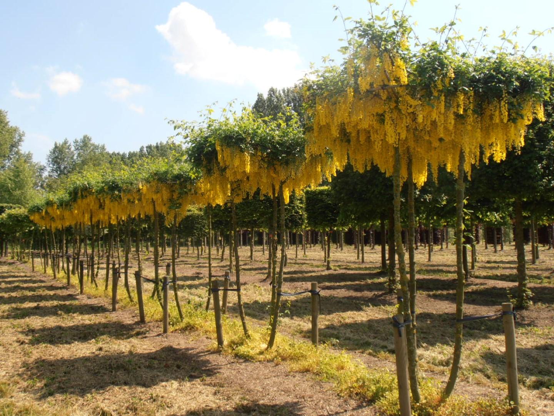 Laburnum ×watereri 'Vossii' | Laburnum ×watereri 'Vossii' - Van den Berk  Nurseries